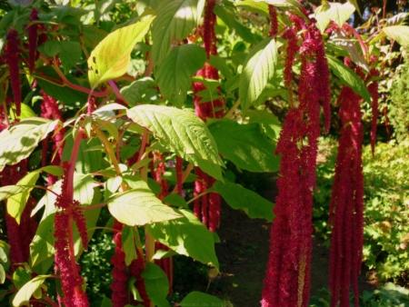 Amarante queue de renard semences du portage for Catalogue de plantes