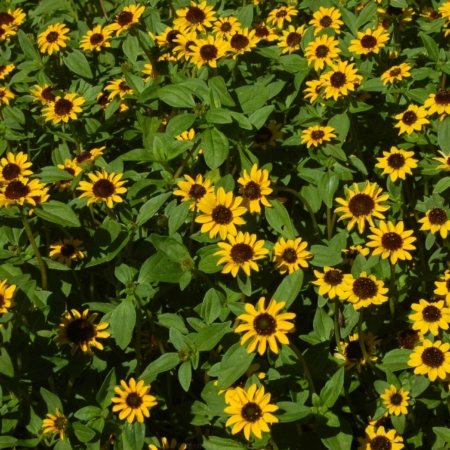 Amarante bourgogne semences du portage for Plante ornementale