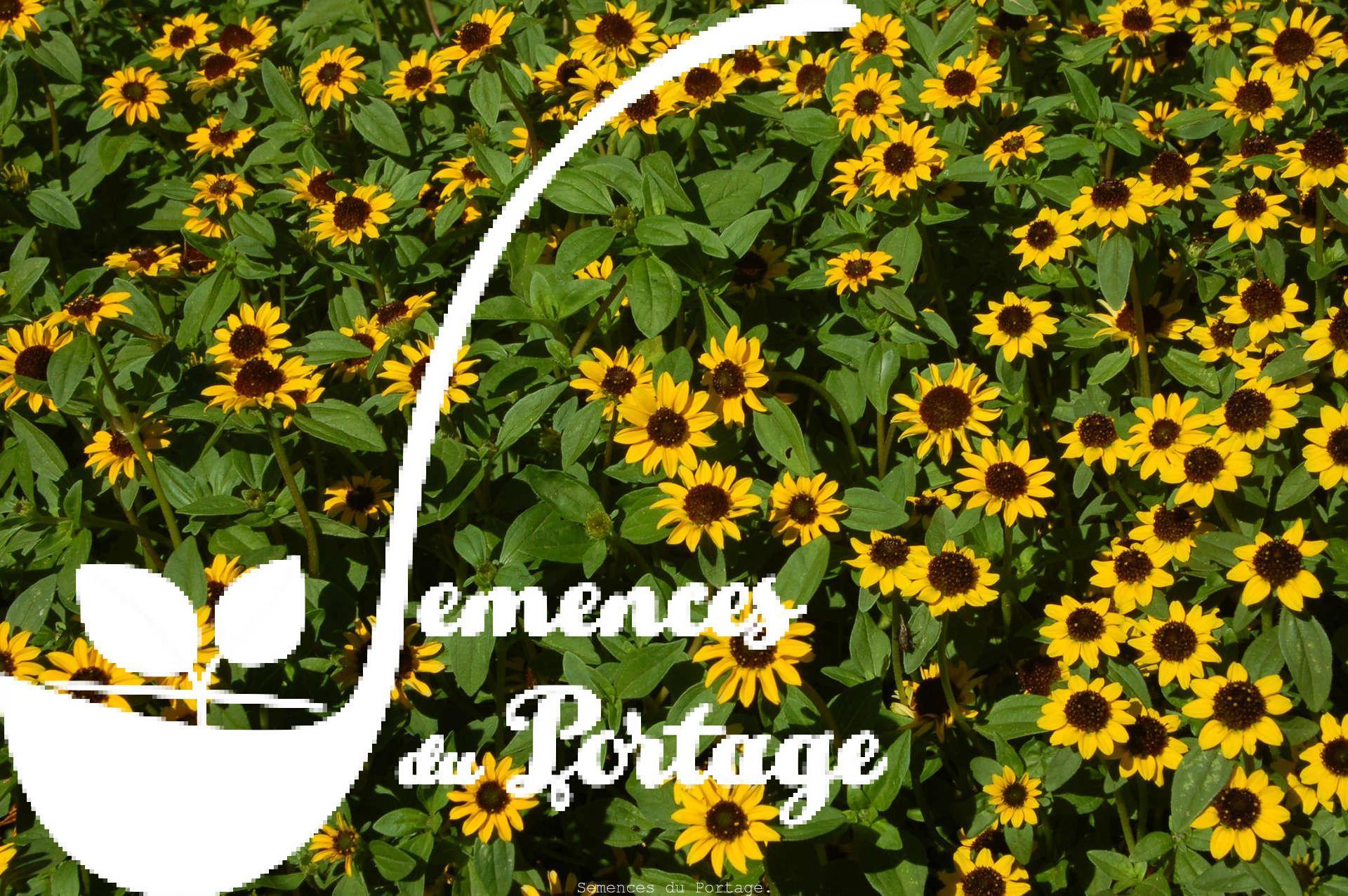 Sanvitalia semences du portage for Catalogue de plantes en ligne