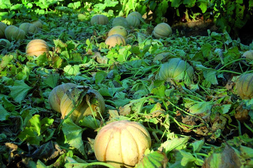 Du melon de montr al au melon oka semences du portage - Culture du melon charentais ...