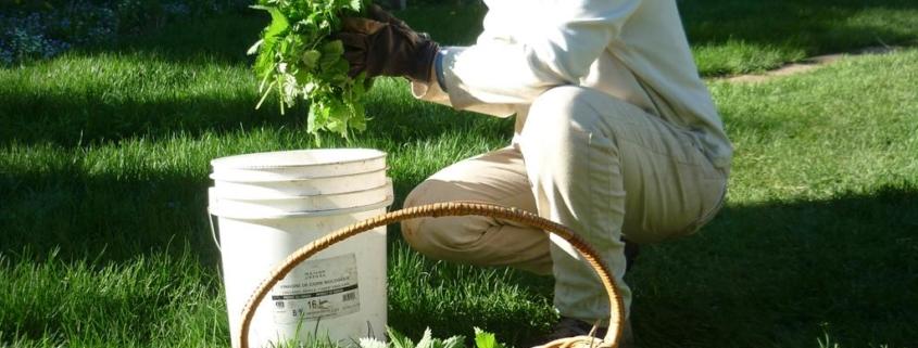 Cat gorie herboristerie semences du portage - Danger purin d ortie ...